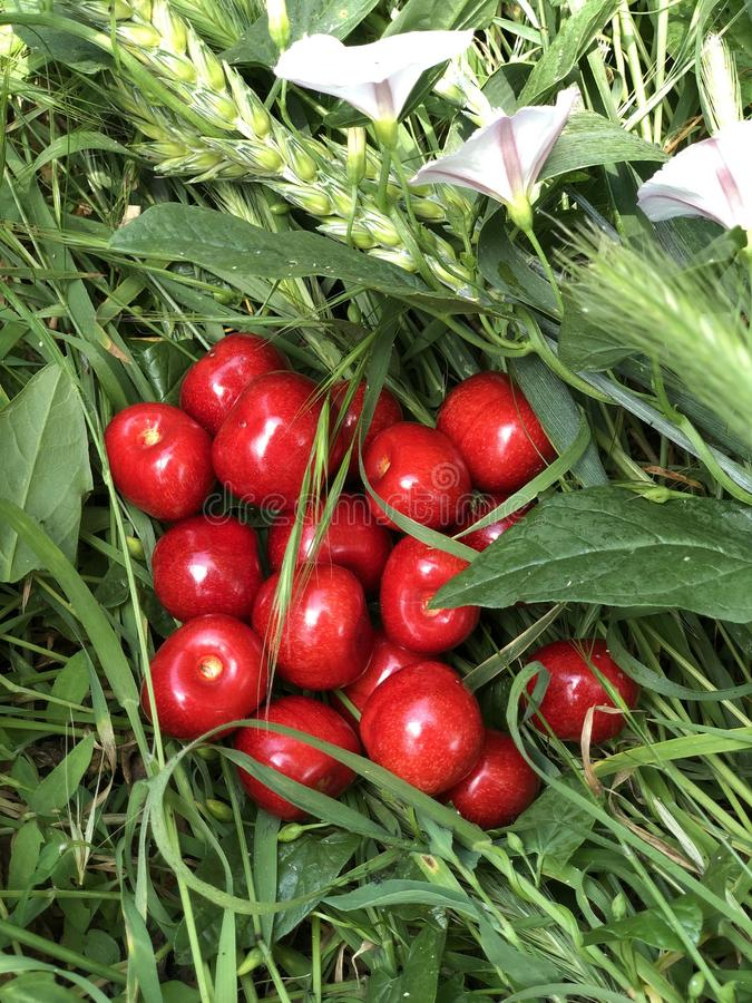 Ripe red sweet cherry lies on the green grass. Summer 2 stock image