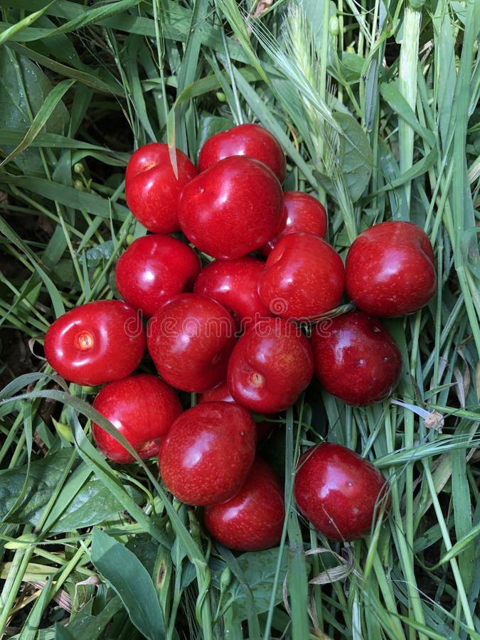 Ripe red sweet cherry lies on the green grass. Summer stock photos
