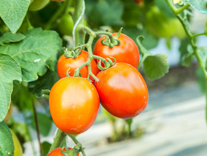 Ripe red tomato growing on branch in field royalty free stock photo