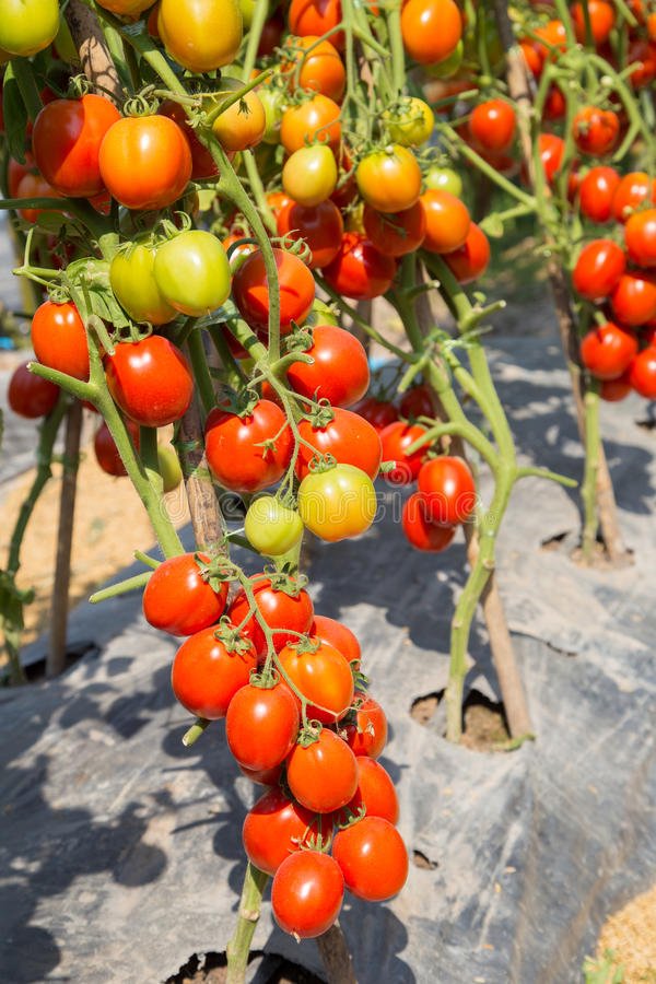 Ripe red tomato growing on branch in field royalty free stock photography