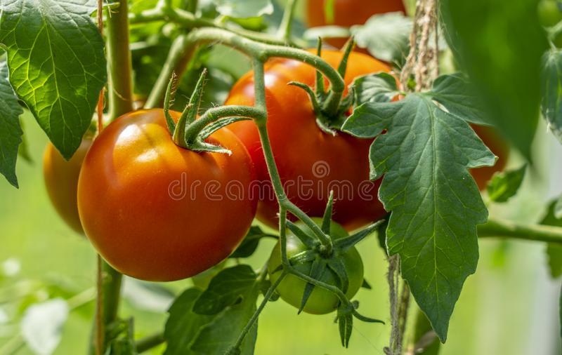 Ripe red tomatoes, close-up, hanging on a branch of a Bush tomato royalty free stock photos