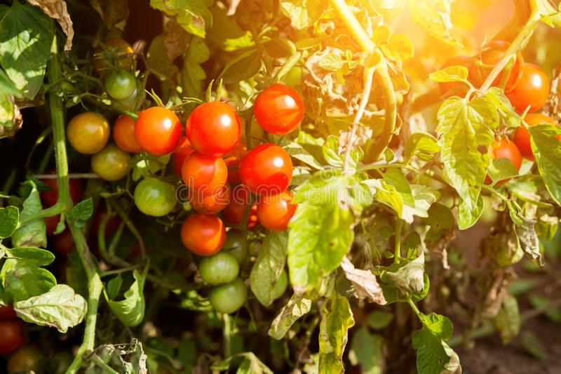 Ripe red tomatoes are on the green foliage background, stock images