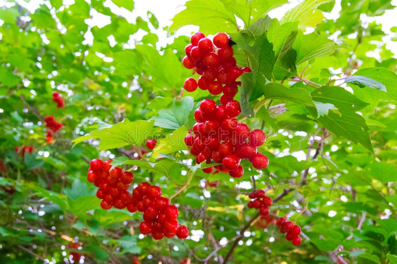 Ripe red viburnum berries on a branch with green leaves. Autumn harvest. Garden and vegetable garden. Autumn. Gardening. Vitamins royalty free stock photos