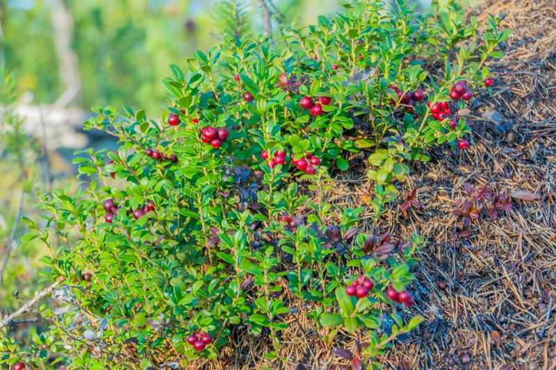Ripe red whortleberry. Nadym stock photography