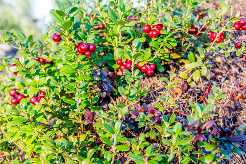 Ripe red whortleberry stock photography