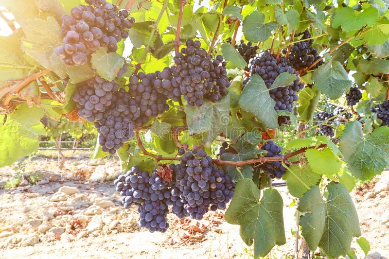 Ripe red wine grapes before harvest in a vineyard at a winery, rural landscape for viticulture and agricultural wine production in stock image