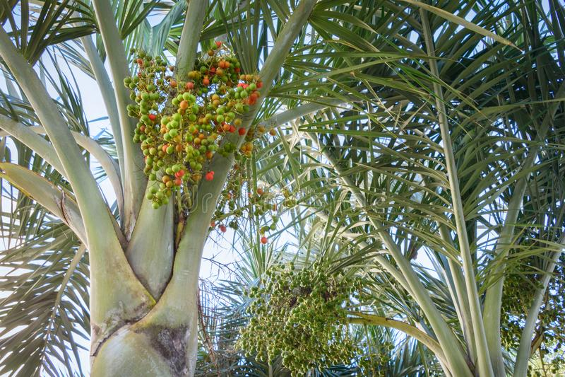 Ripe red and young green betel nuts on betel palm tree. Green natural background. Ripe red and young green betel nuts on betel palm tree. Green natural stock photo