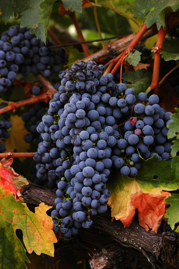 Ripe Reds royalty free stock photography