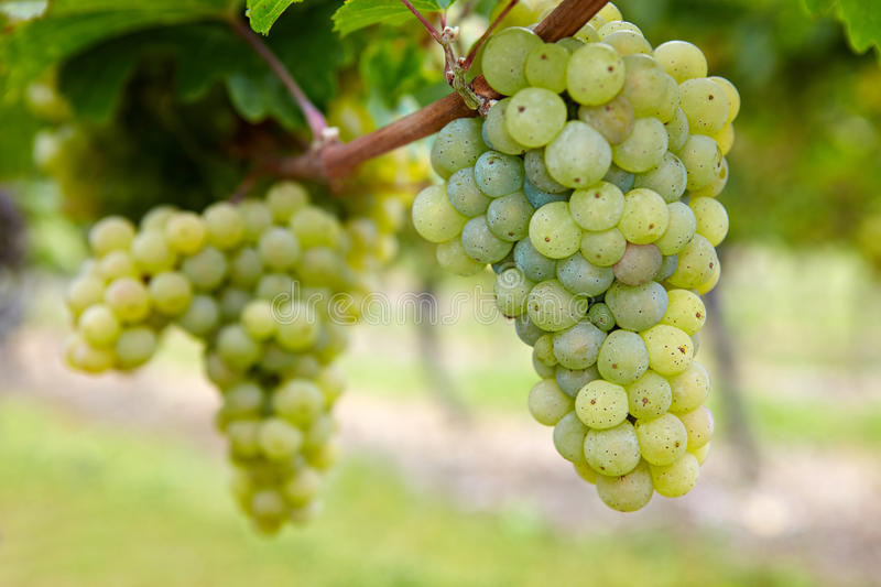 Ripe Riesling grapes in fall stock photos