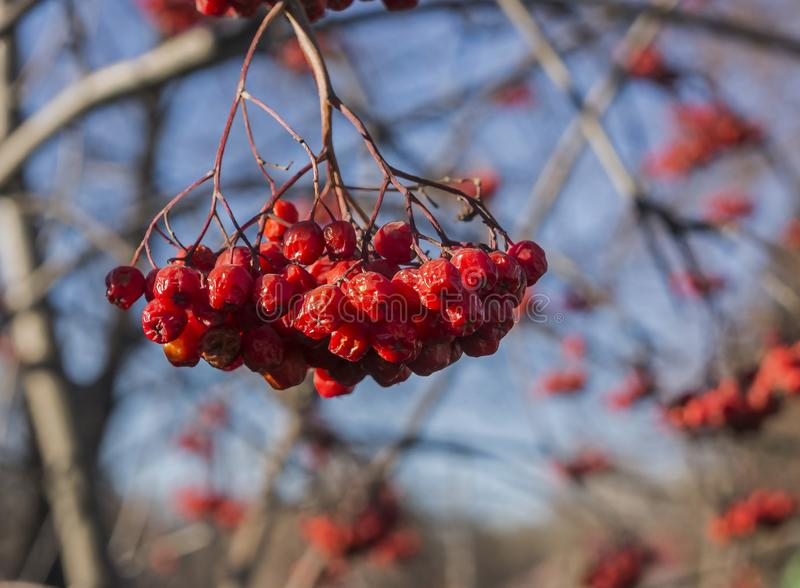 Ripe Rowan berries on branches without leaves in autumn royalty free stock photos