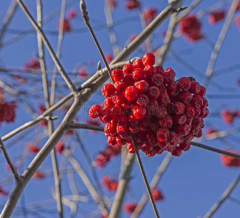 Ripe Rowan berries lit by the morning sun on branches without leaves. In autumn stock photo