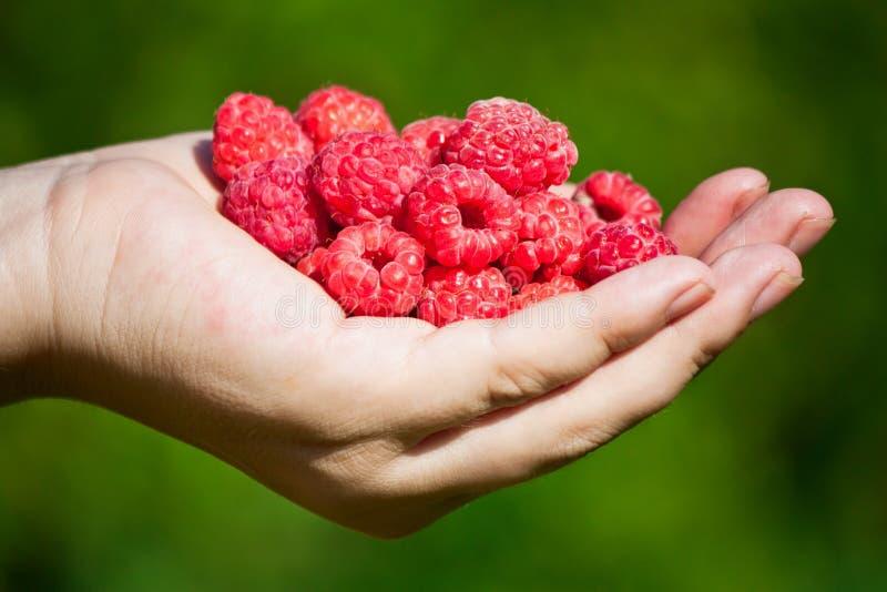 Ripe ruspberries in hand royalty free stock image