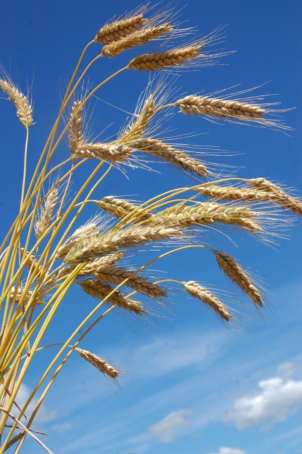 Download Ripe rye-corn stock image. Image of leaves, royalty, coast - 4654139