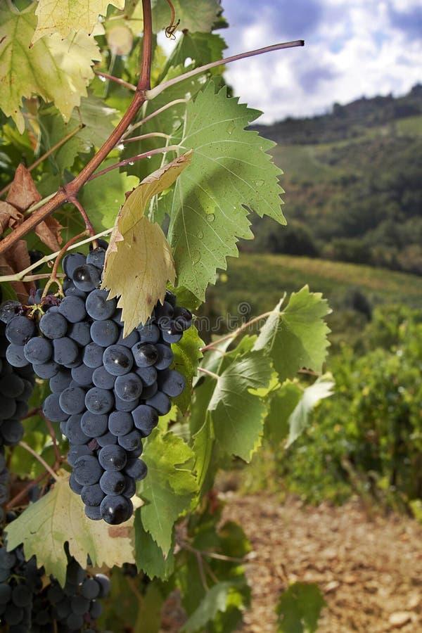 Ripe Sangiovese grapes, Chianti, Tuscany royalty free stock image