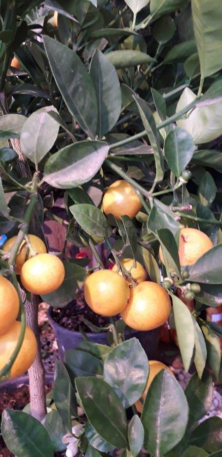 Ripe sinaasappelen op boom met folie-achtergrondkleuring stock foto