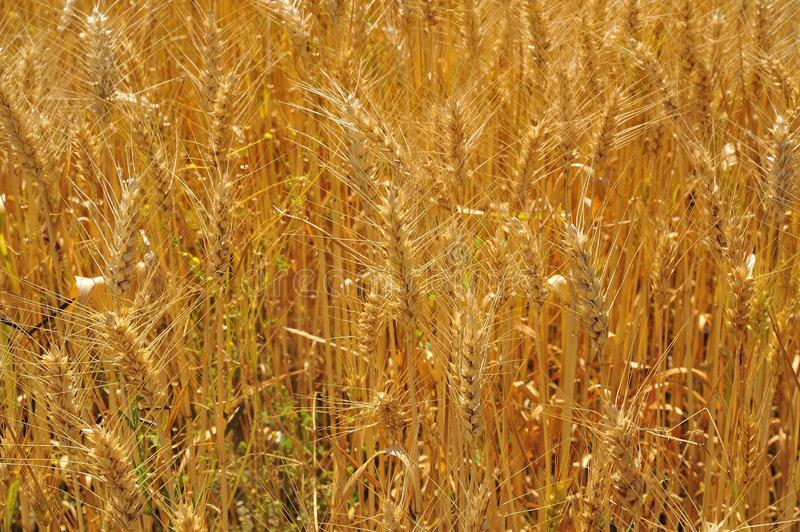 Ripe spikes in the wheat field royalty free stock photos