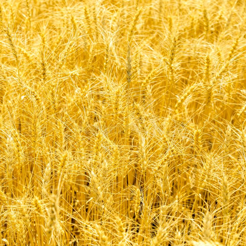 Ripe stems in the rays of sunlight. Golden wheat field on sunny autumn day stock photo