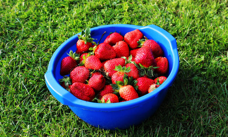 Ripe strawberries on the grass from the garden royalty free stock photography