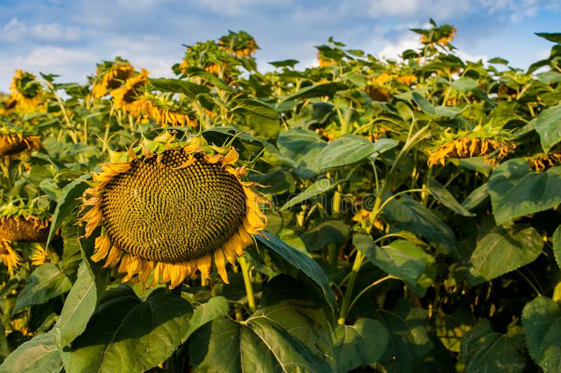 Ripe sunflowers on the field, sky background. Beautiful ripe sunflowers on the field, sky background stock photography