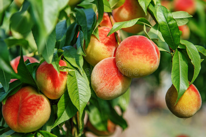 Ripe sweet peach fruits growing on a peach tree branch stock photography