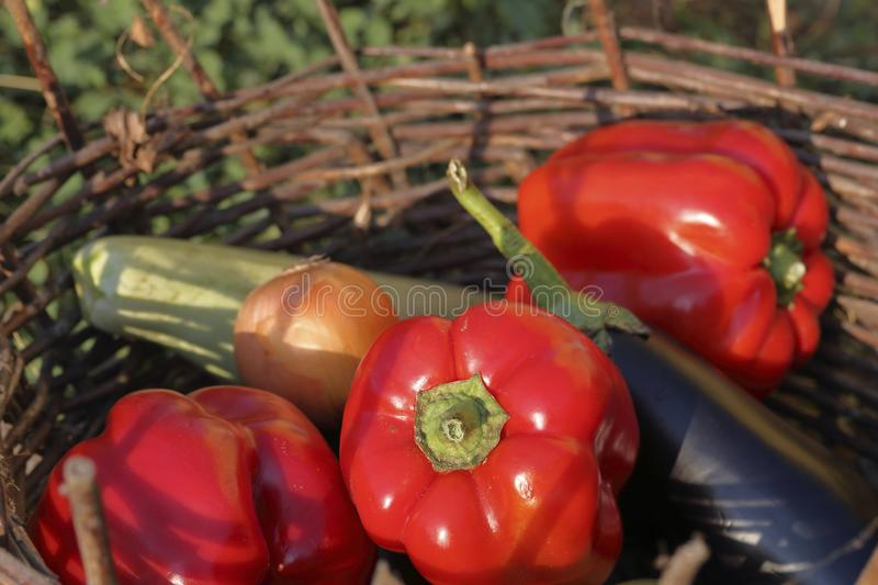 Ripe sweet peppers, zucchini, cucumber, tomato and onions from the infield. Lying in a wicker basket, bathed in sunlight stock photography