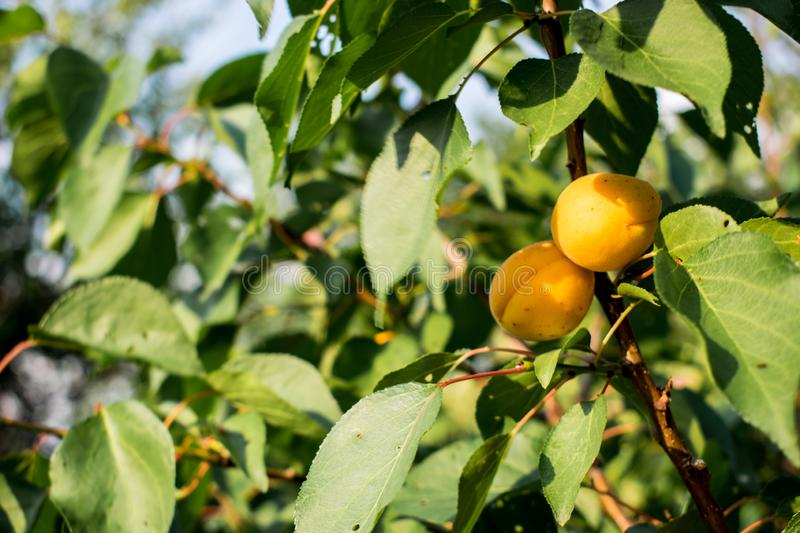 Ripe, sweet and tasty, orange and red apricots. stock photos