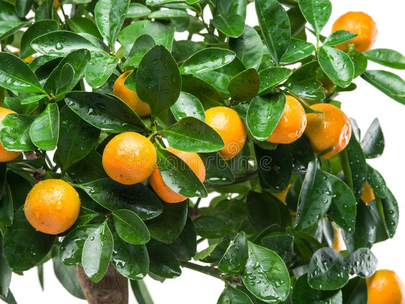 Ripe tangerine fruits on the tree. royalty free stock images
