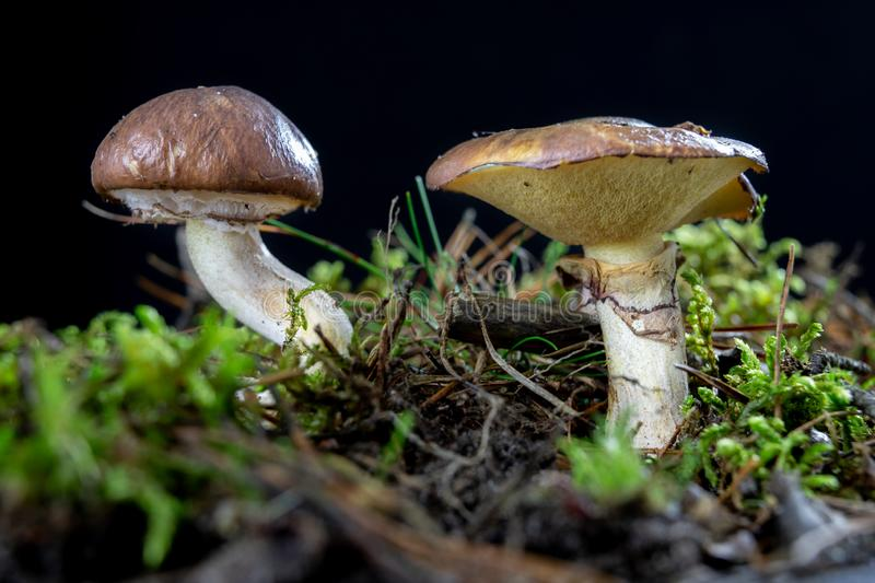 Ripe tasty mushroom in the forest. Forest fruits on wet moss in a deciduous forest. royalty free stock images
