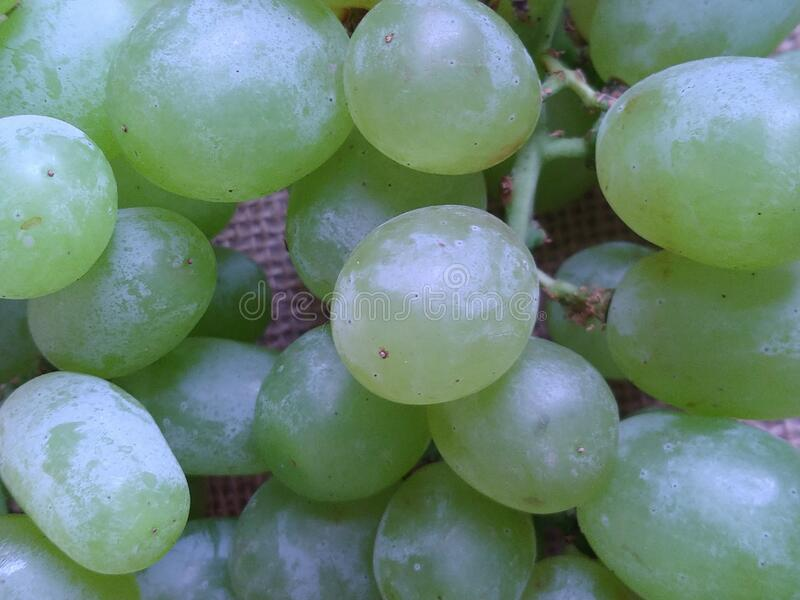 Ripe Thompson grapes. Pale green color ripe Thompson Seedless grapes stock photos