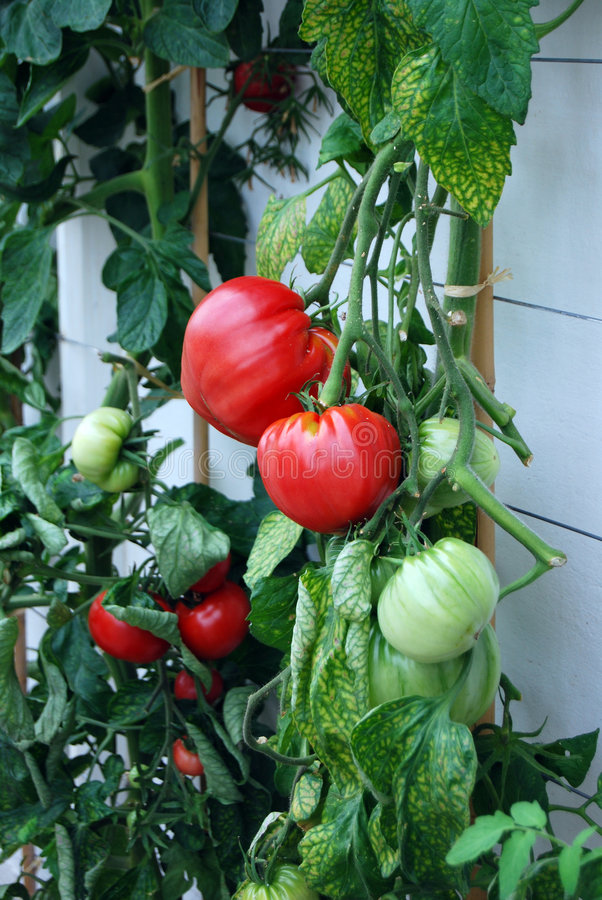 Download Ripe tomato stock image. Image of ripened, healthy, garden - 6353825