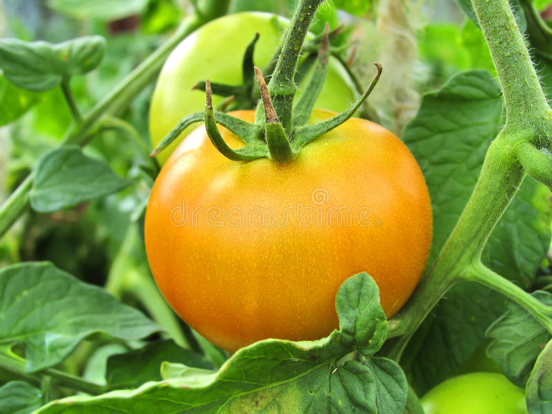 Ripe tomato on branch. Growing vegetables. Agriculture royalty free stock images