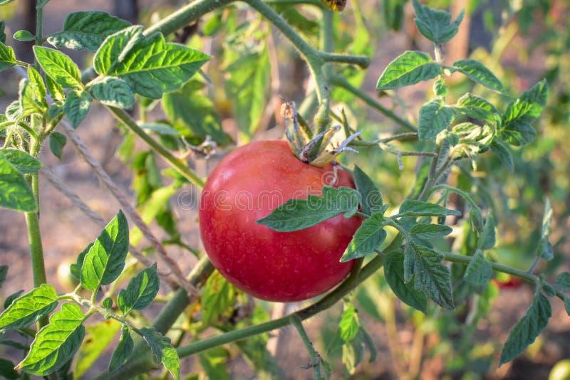 Tomato on the Vine stock photography