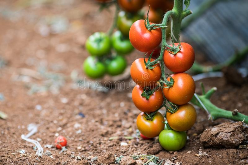 Ripe tomato plant growing in greenhouse. Tasty red cheery tomatoes. Ripe tomato plant growing in greenhouse. Tasty red heirloom tomatoes. Blurry background and stock image
