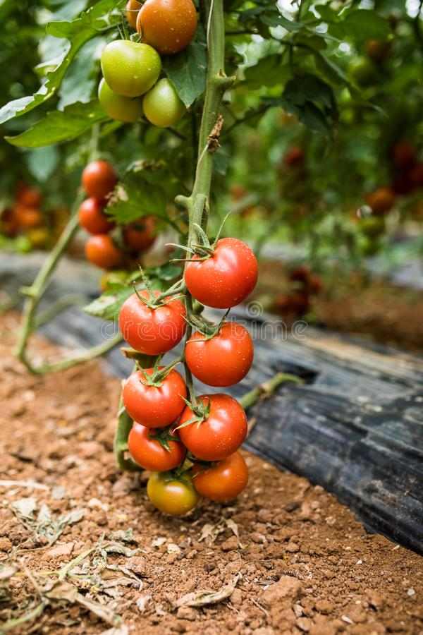 Ripe tomato plant growing in greenhouse. Tasty red heirloom tomatoes. stock photo