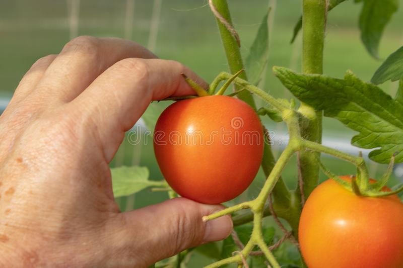 Ripe tomato plant growing in greenhouse. Tasty red heirloom tomatoes. close up royalty free stock photos