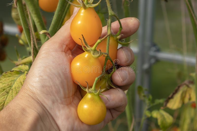 Ripe tomato plant growing in greenhouse. Tasty yellow heirloom tomatoes. close up royalty free stock image