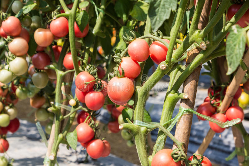 Ripe tomato ready to harvest in field royalty free stock images