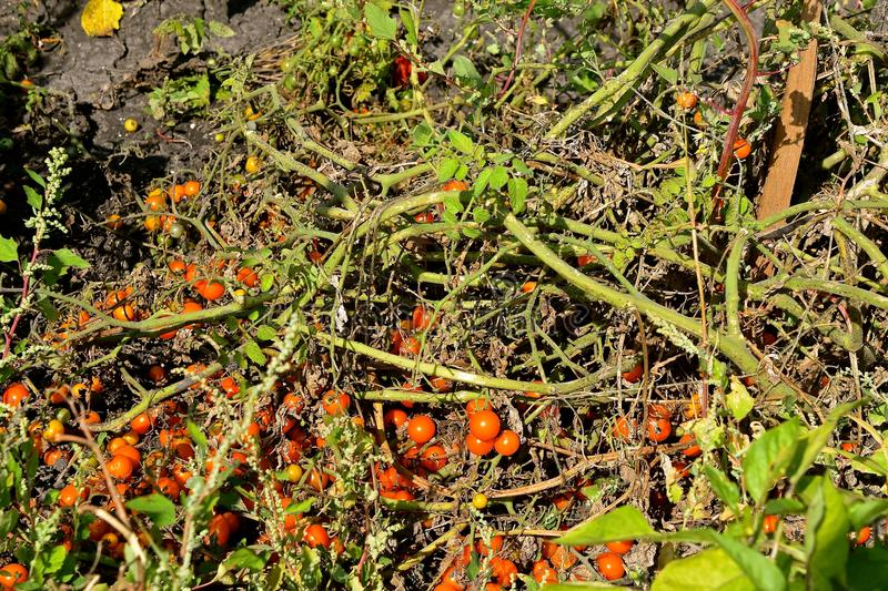 Ripe tomatoes dying on the vine stock photos