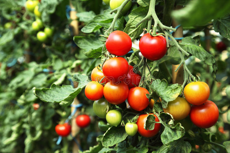 Ripe tomatoes ready to pick stock photo