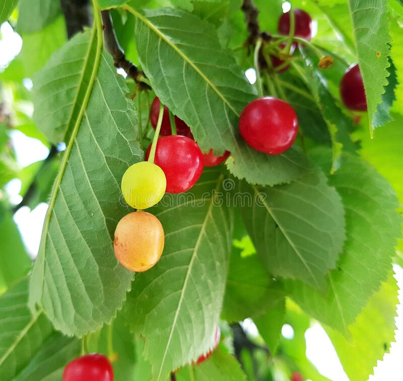 Sour cherries in green, orange and red. Vistula sour cherry. royalty free stock images