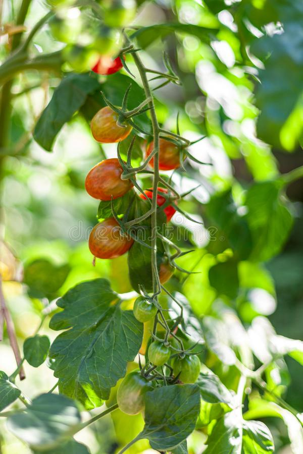 Ripe and unripe cherry tomatoes growing on a branch in an organic greenhouse garden stock image