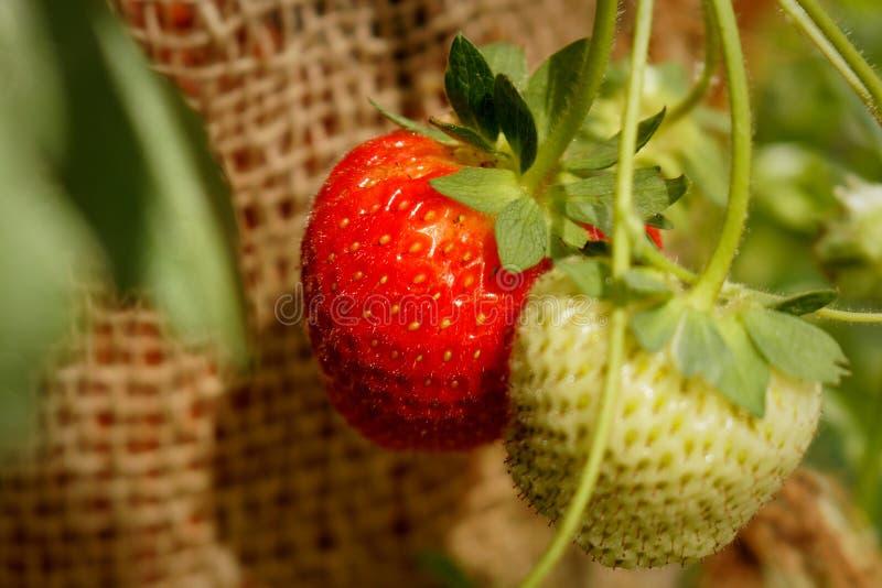 Ripe and unripe strawberries stock image