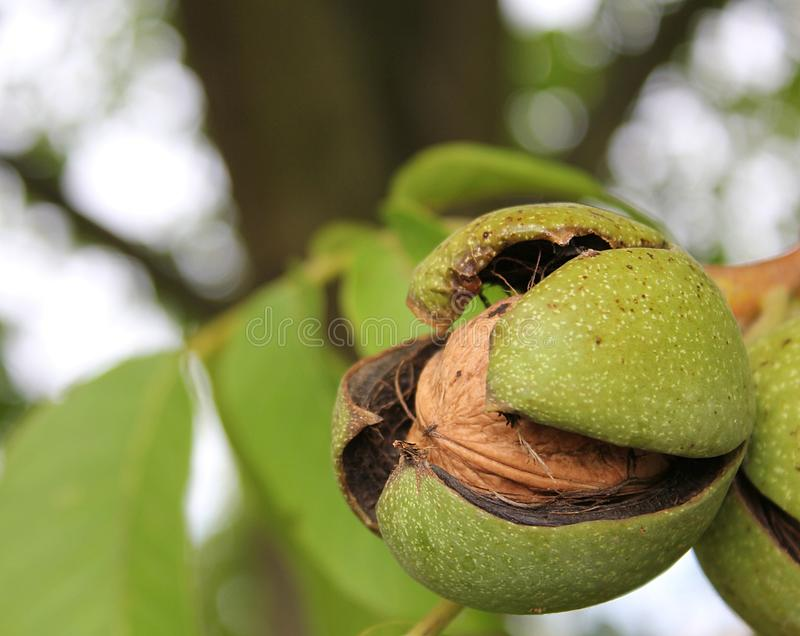 Ripe walnut stock images