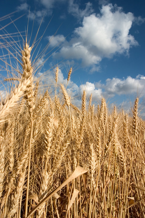 Download Ripe wheat stock image. Image of rural, ecological, clouds - 116471