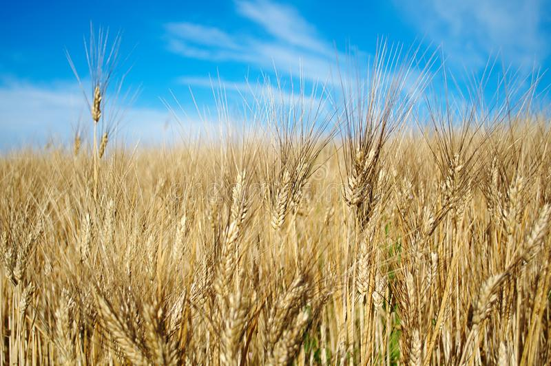 Download Ripe wheat stock photo. Image of grains, clear, seed - 15095736