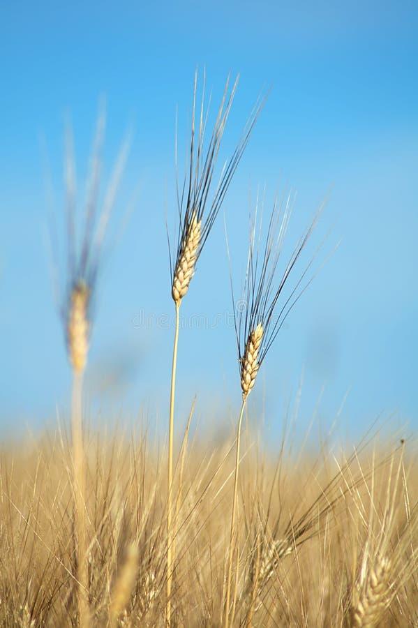 Ripe wheat royalty free stock photography