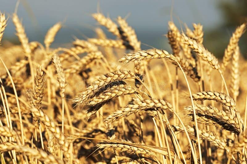 Ripe wheat royalty free stock photos