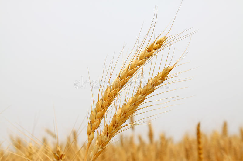 Ripe wheat. Closeup of ripe wheat in china stock images