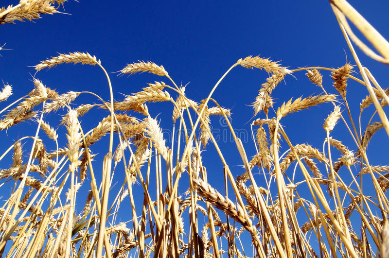 Download Ripe Wheat stock photo. Image of ready, agriculture, beautiful - 26032054