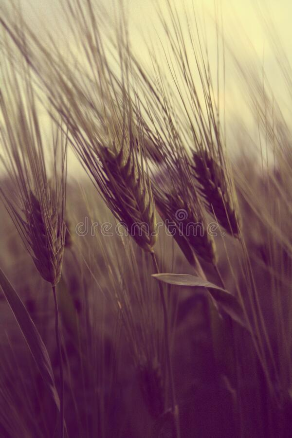 Ripe Wheat Free Public Domain Cc0 Image